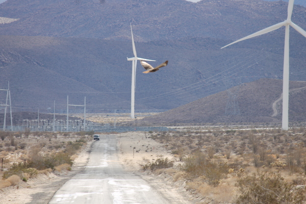 Hawk, probably a red-winged, flies near wind turbines at Ocotillo November 22 | Photo: Jim Pelley
