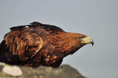 A subpopulation of golden eagles migrate annually from northeast Canada down the southern Appalachian Mountains.  Photo by courtesy of Mark Jones.