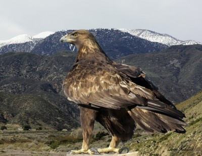 Golden eagles in the eastern United States face a threat from lead bullets as well as wind turbines.  Photo by courtesy of Leon Roland.