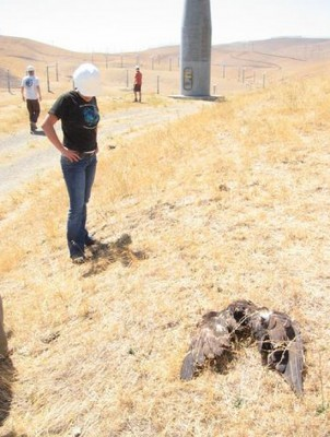 This photo, by courtesy of The Bird Group, allegedly shows a golden eagle killed by a wind turbine collision.