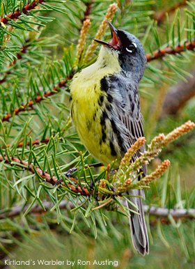 Kirtland's Warbler, by Ron Austing