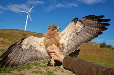 Photo of Male Swainson's hawk in front of the turbine that eventually killed it