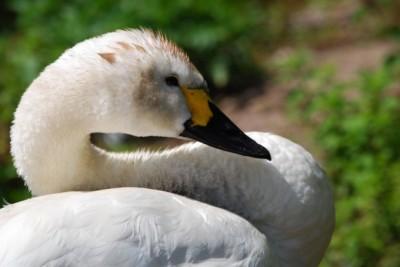bewick-swan