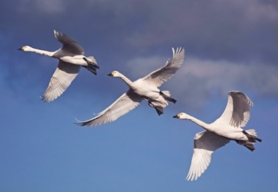 bewick-swans-in-flight