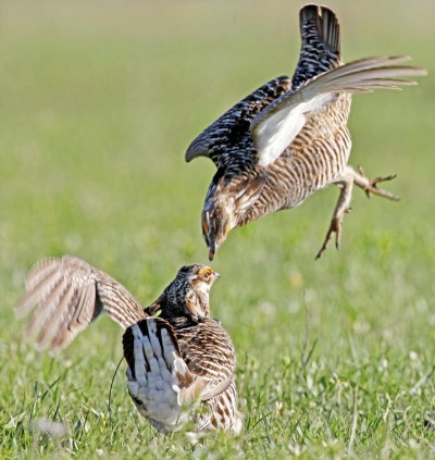 Male greater prairie chickens fight during territorial breeding displays on a lek at the Tallgrass Prairie Preserve north of Pawhuska in this 2011 file photo. KELLY BOSTIAN/Tulsa World