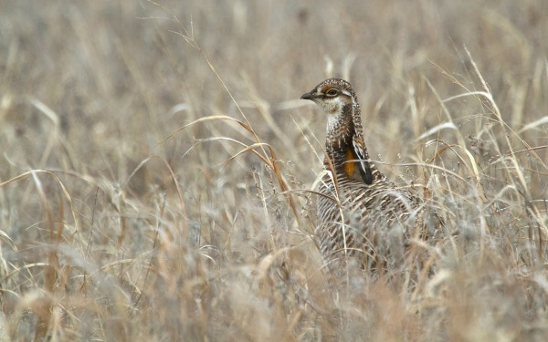 Greater Prairie-Chickens are more likely to abandon mating sites near wind turbines, according to a new study in The Condor. Credit: M.Herse